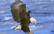 鹰击长空!高清晰鹰写真壁纸 动物壁纸