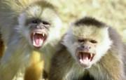 猿猴猩猩 动物壁纸