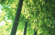 竹林深处竹子壁纸 壁纸16 竹林深处竹子壁纸 动物壁纸