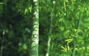 竹林深处竹子壁纸 壁纸21 竹林深处竹子壁纸 动物壁纸