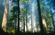 大自然纯朴之美 晨曦中树林 阳光映照的树林壁纸图片壁纸 大自然纯朴之美 风景壁纸