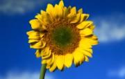 大自然纯朴之美 蓝天下的向日葵壁纸图片壁纸 大自然纯朴之美 风景壁纸