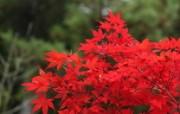 日本之旅:六甲山之红叶 风景壁纸