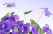 紫色鲜花 微距花卉摄影图片壁纸 The Best of Nature第五集 风景壁纸