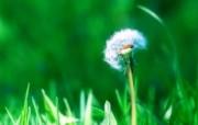 Vista 绿叶植物十三 风景壁纸