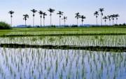 Windows 7世界名胜高清壁纸 亚洲篇 台湾池上 水稻田 Ricefields in Chih Hsiang Taiwan Windows 7世界名胜高清壁纸亚洲篇 风景壁纸