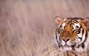 Windows 7世界名胜高清壁纸 亚洲篇 印度 孟加拉虎图片 Royal Bengal Tiger India Windows 7世界名胜高清壁纸亚洲篇 风景壁纸