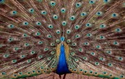 Windows 7世界名胜高清壁纸 亚洲篇 印度 蓝孔雀开屏Peacock at Tata Steel Zoological Park in Jamshedpur India Windows 7世界名胜高清壁纸亚洲篇 风景壁纸