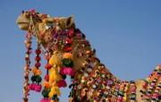 Windows 7世界名胜高清壁纸 亚洲篇 印度塔尔沙漠 挂满装饰的骆驼Decorated Camel in the Thar Desert Jaisalmer Rajasthan India Windows 7世界名胜高清壁纸亚洲篇 风景壁纸