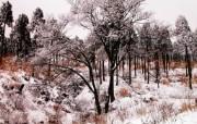 雪中树木 风景壁纸