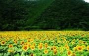 葵花写真 1 36 葵花写真 花卉壁纸