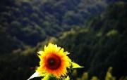 葵花写真 1 32 葵花写真 花卉壁纸
