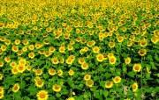 葵花写真 1 27 葵花写真 花卉壁纸