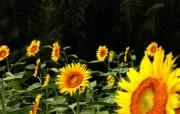 葵花写真 1 24 葵花写真 花卉壁纸