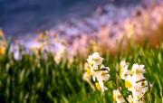 水仙花 1 39 水仙花 花卉壁纸
