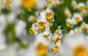 水仙花 1 37 水仙花 花卉壁纸