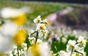水仙花 1 35 水仙花 花卉壁纸