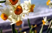 水仙花 1 30 水仙花 花卉壁纸