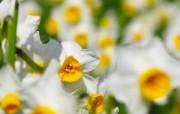 水仙花 1 28 水仙花 花卉壁纸