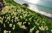 水仙花 1 26 水仙花 花卉壁纸