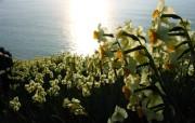 水仙花 1 25 水仙花 花卉壁纸