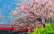樱花时节 1 80 樱花时节 花卉壁纸