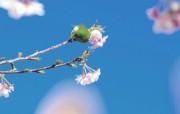 樱花时节 1 79 樱花时节 花卉壁纸