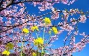 樱花时节 1 78 樱花时节 花卉壁纸