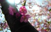 樱花时节 1 77 樱花时节 花卉壁纸