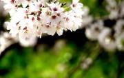 樱花时节 1 76 樱花时节 花卉壁纸