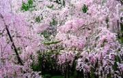 樱花时节 1 72 樱花时节 花卉壁纸