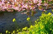 樱花时节 1 71 樱花时节 花卉壁纸