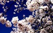 樱花时节 1 70 樱花时节 花卉壁纸