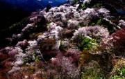 樱花时节 1 68 樱花时节 花卉壁纸