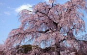 樱花时节 1 67 樱花时节 花卉壁纸