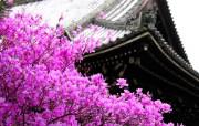 樱花时节 1 66 樱花时节 花卉壁纸