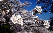 樱花时节 1 64 樱花时节 花卉壁纸