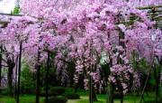 樱花时节 1 63 樱花时节 花卉壁纸