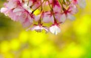 樱花时节 1 62 樱花时节 花卉壁纸