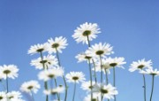 白色花朵 2 20 白色花朵 花卉壁纸