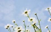 白色花朵 2 19 白色花朵 花卉壁纸