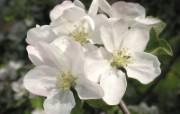 白色花朵 2 14 白色花朵 花卉壁纸