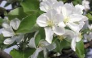 白色花朵 2 13 白色花朵 花卉壁纸