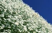 白色花朵 2 9 白色花朵 花卉壁纸