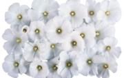 白色花朵 2 4 白色花朵 花卉壁纸