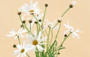 白色花朵 2 2 白色花朵 花卉壁纸