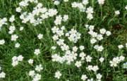 白色花朵 3 20 白色花朵 花卉壁纸