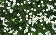 白色花朵 3 19 白色花朵 花卉壁纸