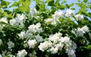 白色花朵 4 20 白色花朵 花卉壁纸