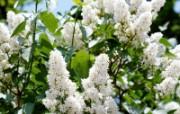 白色花朵 4 16 白色花朵 花卉壁纸